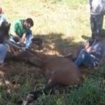 Cavalo é operado no meio da rua após ser atropelado em Goiás